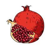 Geïsoleerde granaatappelhand getrokken vruchten Stock Afbeelding