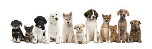 Geïsoleerde groep puppy op een rij, Stock Afbeelding