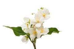 geïsoleerde jasmijnbloem Stock Afbeelding