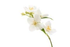 geïsoleerde jasmijnbloem Stock Afbeeldingen