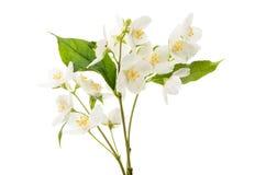 geïsoleerde jasmijnbloem Stock Foto's