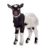 Geïsoleerde landbouwbedrijf dierlijke geit Royalty-vrije Stock Fotografie