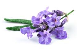 Geïsoleerde lavendel Stock Afbeelding