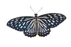 Geïsoleerde mannelijke gemeenschappelijk bootst vlinder na Royalty-vrije Stock Foto