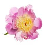 Geïsoleerde pioenbloem Royalty-vrije Stock Afbeelding