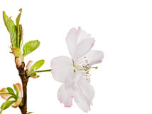 Geïsoleerde witte kersenbloesem Royalty-vrije Stock Fotografie