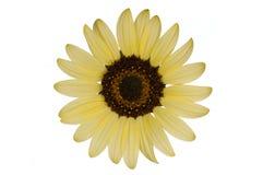 Geïsoleerdee zonnebloem Royalty-vrije Stock Foto's