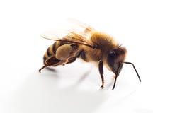 Geïsoleerdeh honingbij Stock Foto's