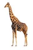 Geïsoleerdei giraf Stock Foto's
