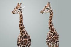 Geïsoleerdei giraffen Royalty-vrije Stock Foto