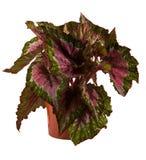 Geïsoleerdem bloem in pot Stock Foto