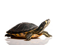 Geïsoleerdeo schildpad Stock Foto