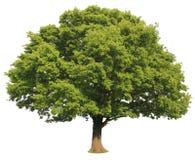 Geïsoleerder boom Stock Foto