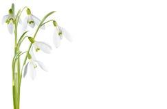 Geïsoleerder de bloem van het sneeuwklokje Stock Foto's