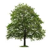 Geïsoleerder rijpe esdoornboom Stock Fotografie