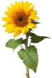 Geïsoleerder zonnebloem Stock Fotografie