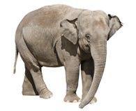 Geïsoleerdn op witte olifant Royalty-vrije Stock Fotografie