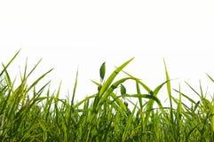 Geïsoleerdt gras Stock Afbeelding