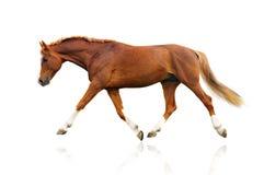 Geïsoleerdt paard Stock Foto