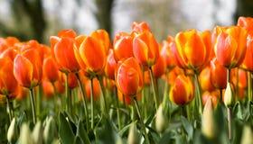 Gespür-Tulpe stockbilder