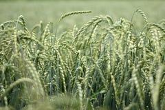 Gespeld gebied van graan, dinkel royalty-vrije stock foto