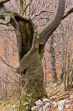 Gespenstischer alter Buchenbaum mitten in dem Gebirgswald Lizenzfreie Stockfotografie