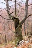 Gespenstischer alter Buchenbaum mitten in dem Gebirgswald Lizenzfreies Stockfoto