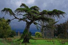 Gespenstischer Baum mit stürmischem Himmel hinten stockbild