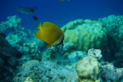 Gespikkelde citrinellus van butterflyfishchaetodon Stock Foto