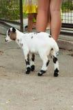 Gespikkelde geit bij dierentuin Stock Afbeeldingen