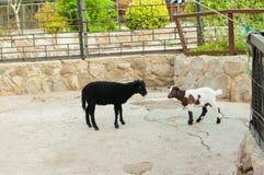 Gespikkelde geit bij dierentuin Stock Foto