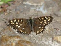 Gespikkelde houten aegeriazitting van vlinderpararge op een rots royalty-vrije stock fotografie