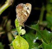 Gespikkelde Houten gesloten vlindervleugels stock foto