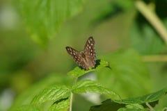 Gespikkelde houten vlinder Royalty-vrije Stock Afbeelding
