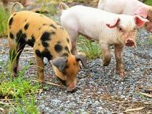 Gespikkelde jonge varkens Stock Afbeeldingen