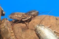 Gespikkelde kakkerlak Stock Foto