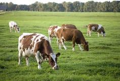 Gespikkelde koeien Royalty-vrije Stock Foto's
