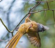 Gespikkelde Mousebird Stock Afbeeldingen