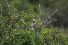 Gespikkelde mousebird (Colius-striatus) Stock Foto