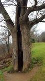 Gespleten boom Stock Afbeelding