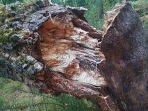 Gespleten boomboomstam in het midden van het bos royalty-vrije stock fotografie