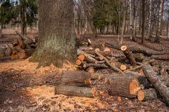 Gespleten boomboomstammen, die in de boshoutbewerkingsindustrie liggen De boomstammen van bomen vielen aan de grond rond de boom Stock Fotografie