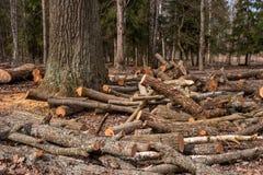 Gespleten boomboomstammen, die in de boshoutbewerkingsindustrie liggen De boomstammen van bomen vielen aan de grond rond de boom Stock Foto