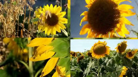 Gespleten het Schermvideo met Texas Sunflower Fields stock footage