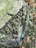 Gespleten Logboek Stock Fotografie