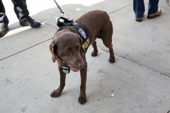 Gespräch des NYPDCounter-Terrorismusbüros K-9 Hundewährend des Eröffnungstags Yan Stockbild
