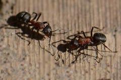 Gespräch zwischen zwei Ameisen Lizenzfreies Stockbild