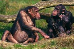 Gespräch zwischen zwei Schimpansen Stockfotografie