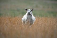 Gesprenkelte Gesichts-Schafe, die in getrocknetem Gras stehen Lizenzfreie Stockbilder