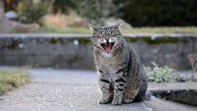 Gesprenkelte graue Katze gähnt im Garten stock video footage